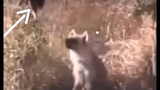 A Stupid Hyena Trying to catch his food on the tree. see what happend
