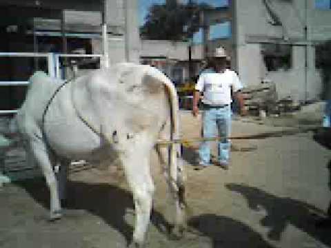 metodo de derribo en bovino