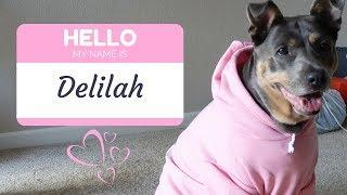 DAILY VLOG: DELILAH SAYS HELLO! [DOBERMAN PITBULL MIX - FURRY FRIEND TAG]