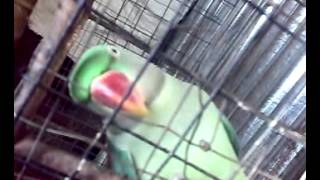 Parrot sings mithu mithu