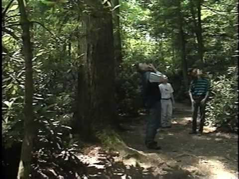 Old Growth Forests Pennsylvania s Forgotten Giants