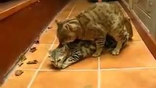 Cat defloration