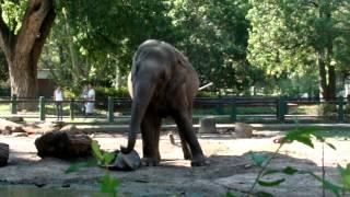 El elefante Pelusa