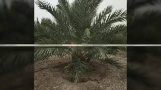 Jordan River Dates : Our palm dates from nursery to the final product !🌴