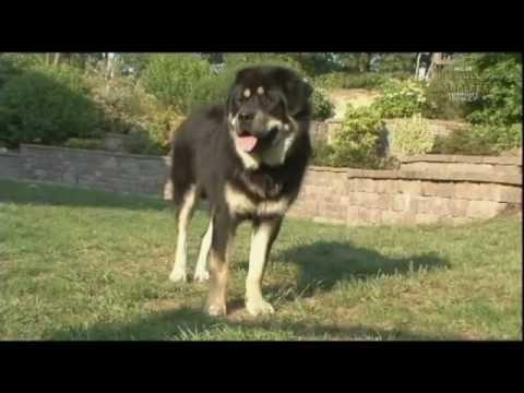 Tibetan Mastiff 西藏獒犬 � �� �་� �ྱ� �།