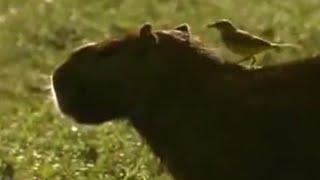 Animal partnerships - David Attenborough  - BBC wildlife