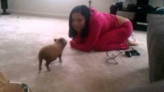 Micro Mini Potbelly Pigs