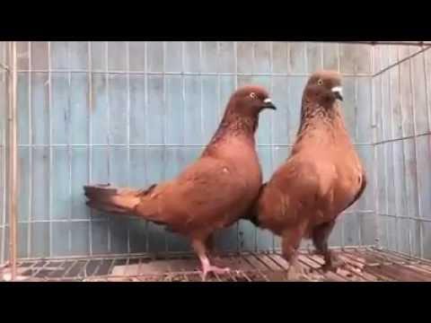 Xxx Mp4 Chila Pigeon Red Pigeon Kalo Dom Black Tail Birds Animals Gallery 3gp Sex