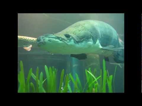 Arapaima at the Tennessee Aquarium