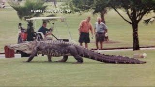 Huge Alligator Walks Florida Golf Course