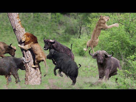 PREDATOR BECOMES THE PREY Buffalo Herd Flick Lion Into Air To Rescue Warthog