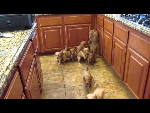 Goldendoodle Puppies Work for their food