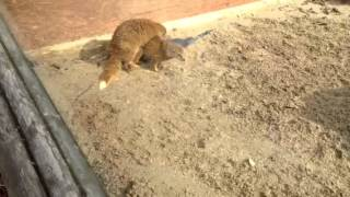 How I Met Your Mongoose Mother