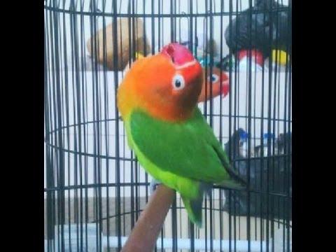 LOVE BIRD CEREWET NGEKEK PANJANG !!!Aksi Love Bird Latah