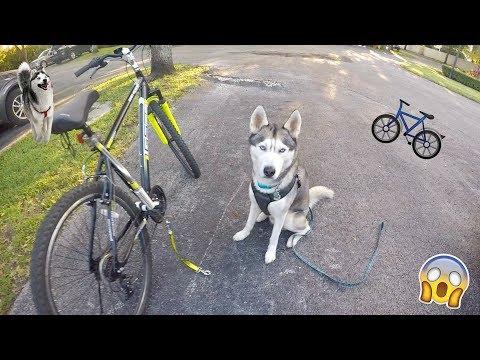 My Husky goes Biking Gohan LOVES Bikejoring
