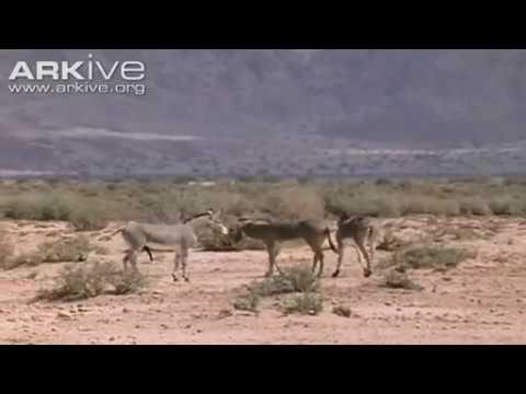 Xxx Mp4 African Wild Ass Equus Africanus Somalicus Mating 3gp Sex