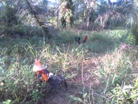 Ayam hutan Rocky vs jalak