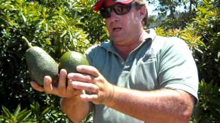 Lamb Hass Avocado Tree with Hass & Reed Demo