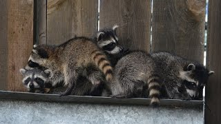 Pregnant Raccoon Travels Across The Country In Back Of Truck To Deliver Babies
