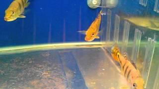 cá hoàng đế braxin - cichla kelberi.3gp