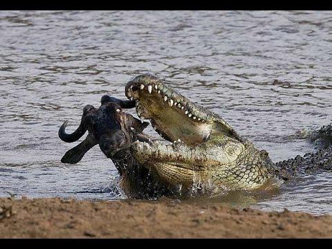 Xxx Mp4 Wild Animals Documentary Crocodile Attacks Discovery Documentary Animal HD 3gp Sex