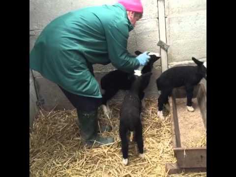 Xxx Mp4 Verity S Very Own Spring Lamb Tagged Yellow She S Named Her Betsy Xxx Baaaaa Baaaa XxX 3gp Sex