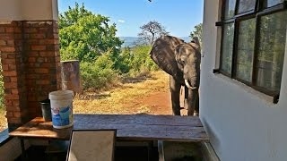 Injured Elephant Limps Seeking Out People Who Can Help Him After Being Shot By Poachers