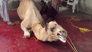 Big n dangerous Camal qurbani in Saudi Arabia, eid 2018 qurbani,