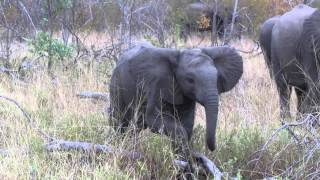 RAGING Elephant pushes down his first tree!