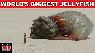 WORLD'S BIGGEST JELLY FISH - FAKE OR REAL?
