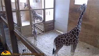 Tuesday Giraffe Cam (5-16-17)