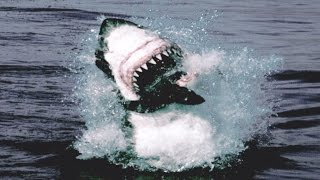 Great White Shark Attack And Breach | Planet Earth | BBC Earth