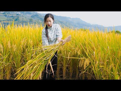 From transplanting rice to making it mature making it into Chinese food一碗� 米饭 从插秧到餐桌,大米� 经历了什么? 野小妹美食