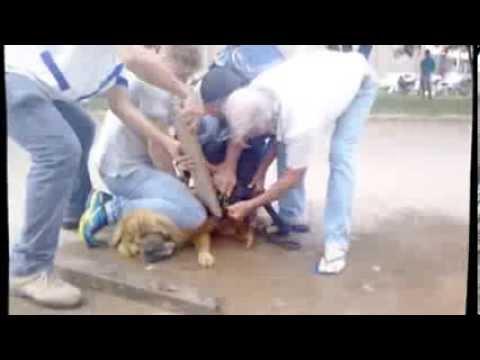 Pit Bull ataca Chow chow em Colider