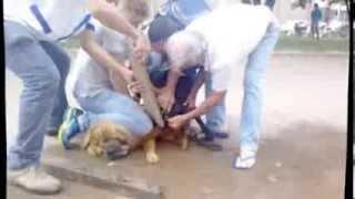 pit bull ataca chowchow em colider