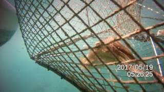 SIPE u vrši, seppia in nassa, cuttlefish  in fish trap