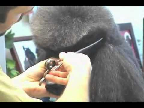 Super Styling Session Standard Poodle Grooming Tips