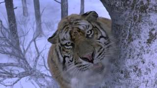 Tiger Attack scene (HD) *see description