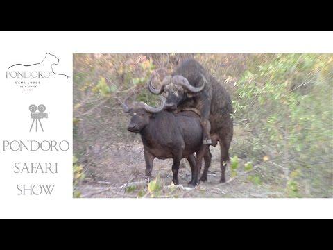 Xxx Mp4 Mating Buffalo 3gp Sex