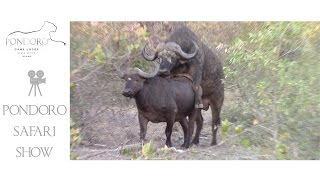 Mating buffalo