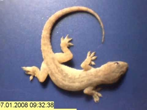 Time lapse whole gecko eaten by ants in just a few hours