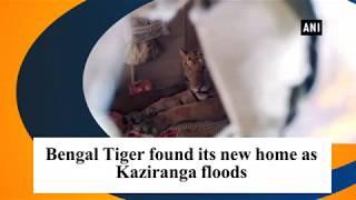 Tiger found its new home as Kaziranga floods