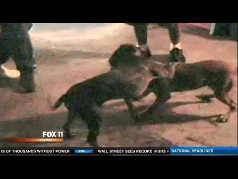 Illegal Animal Fights rising in LA cock & Pit Bull fighting. ;