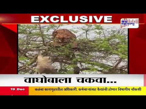 Monkey vs Tiger fight: Tiger tried to eat mokney fall from tree