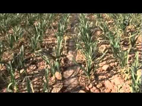 07 11 Cultivo recolección y trenzado del ajo de Bardallur