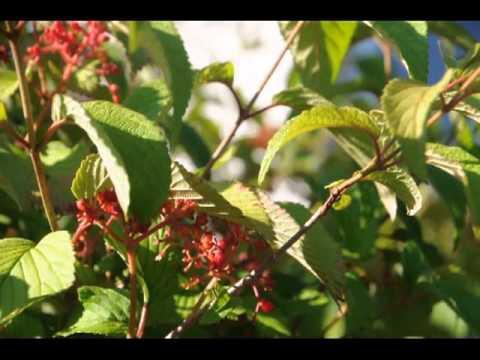 Xxx Mp4 Delivery And Planting Doublefile Viburnum Trees Shrubs Bucks County Doylestown ABC XXX 123 3gp Sex