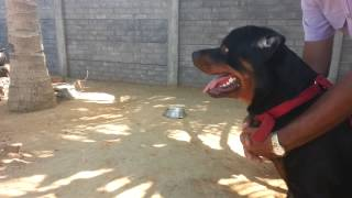 Rottweiler attacking during training.
