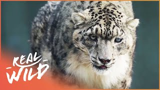Snow Leopards' Aggressive Mating Ritual | Wild Things
