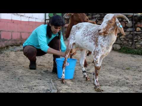 Ordeñar cabra Montefrio Goats in Spain