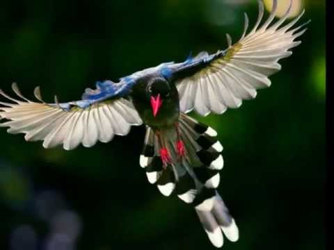 LAS AVES MÀS HERMOSAS DEL MUNDO CANTO DE AVES.THE WORLD S MOST BEAUTIFUL BIRDS BIRD SONG.